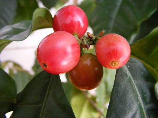 Owoce kawy (fot. Stanislaw Szydlo; Creative Commons Uznanie autorstwa – Na tych samych warunkach 3.0)